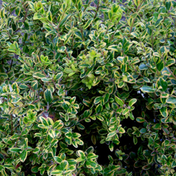 Buxus microphylla 'Golden Dream' - Click Image to Close