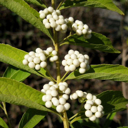 Callicarpa dichotoma - Click Image to Close
